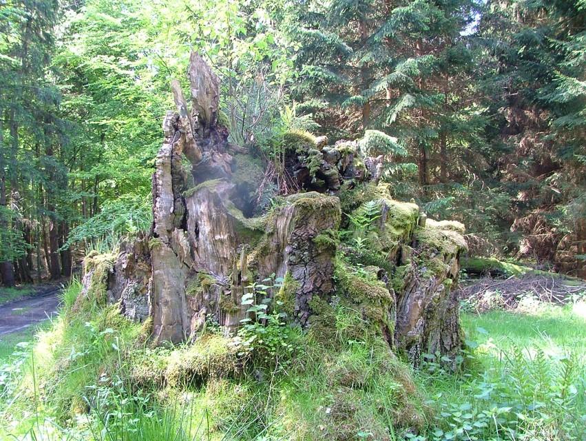 7 buków 67 pomników przyrody